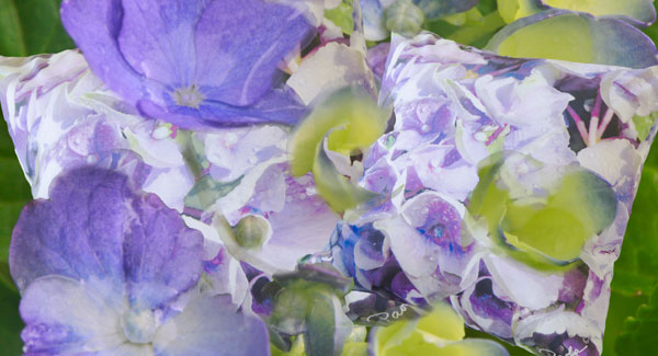 Hydrangeas – Bring Water For Success
