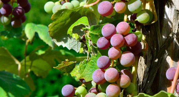 GrapesW2