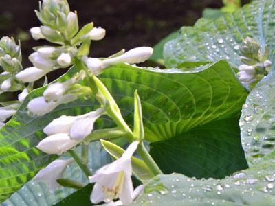 Green-drops