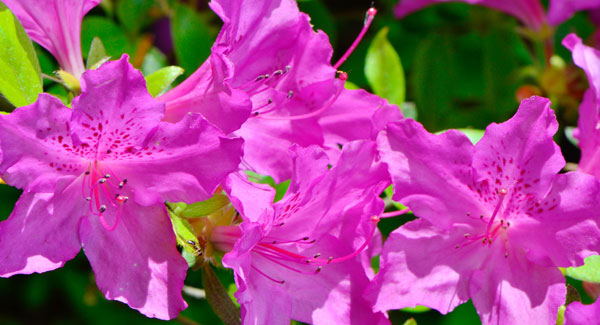 It's Azalea Time Again
