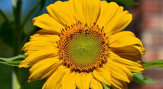 Crazy for sunflowers