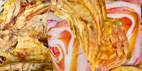 Hidden Roses and Paola Prints