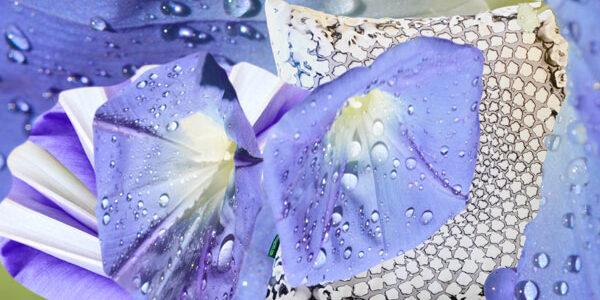 Heavenly Blue Indigo in a Morning Glory