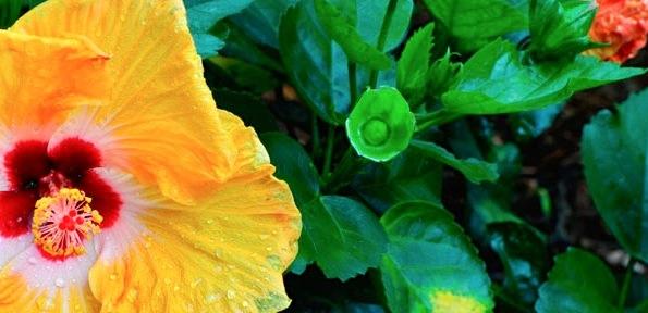 hibiscus-1634