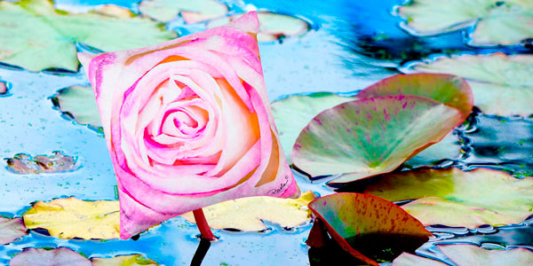 Water Lilies-Jewels of the Pond